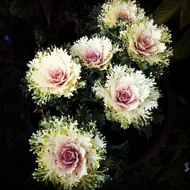 flowering kale  at ravenna gardens #seattle #instagram