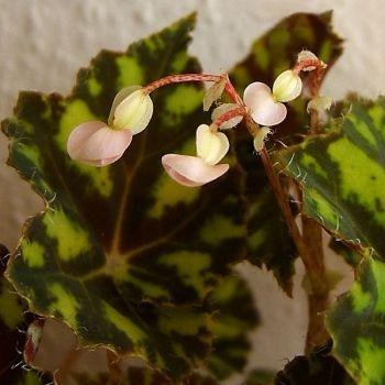 Begonia Bowera