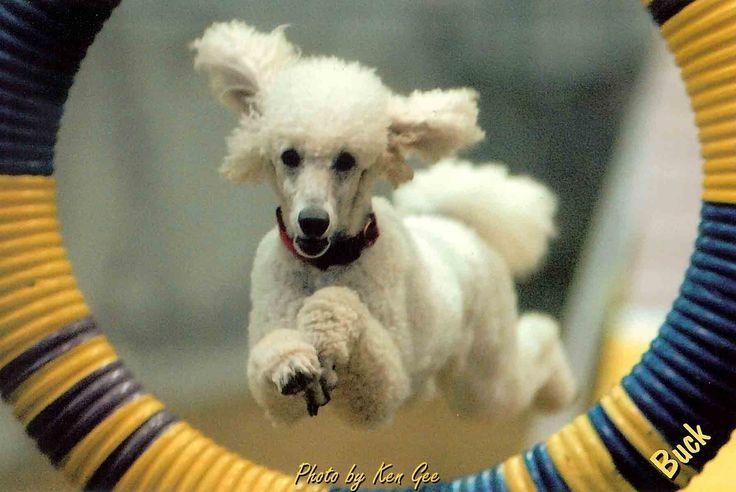 Poodle agility #poodle