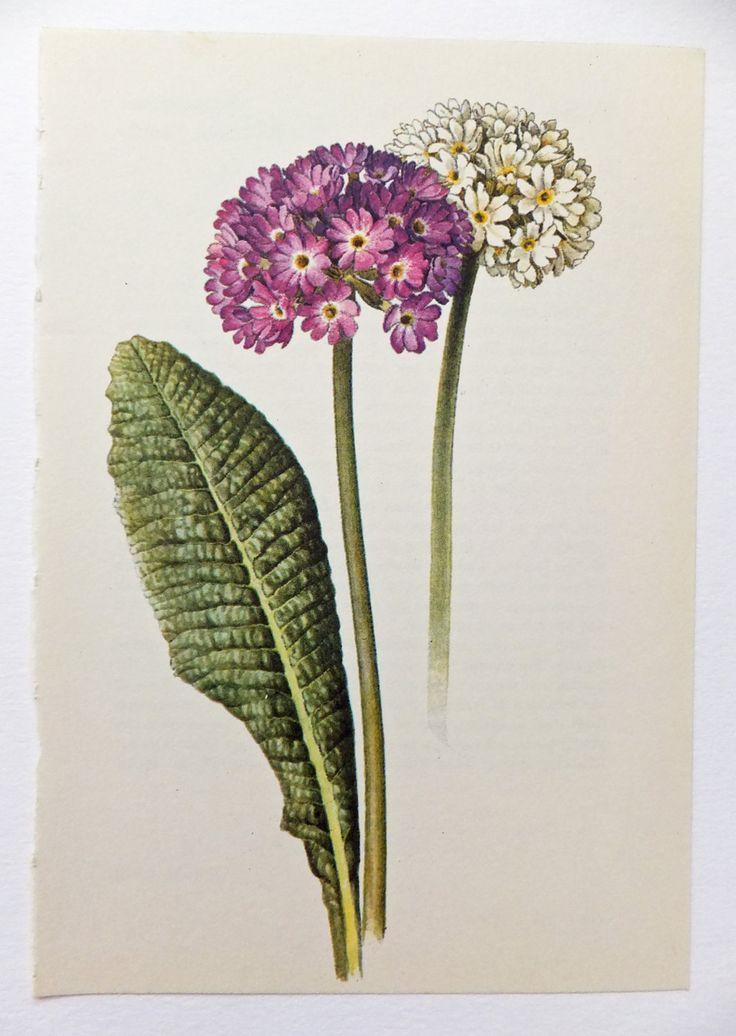 Primula Denticulata Picture. Primrose by PeonyandThistlePaper