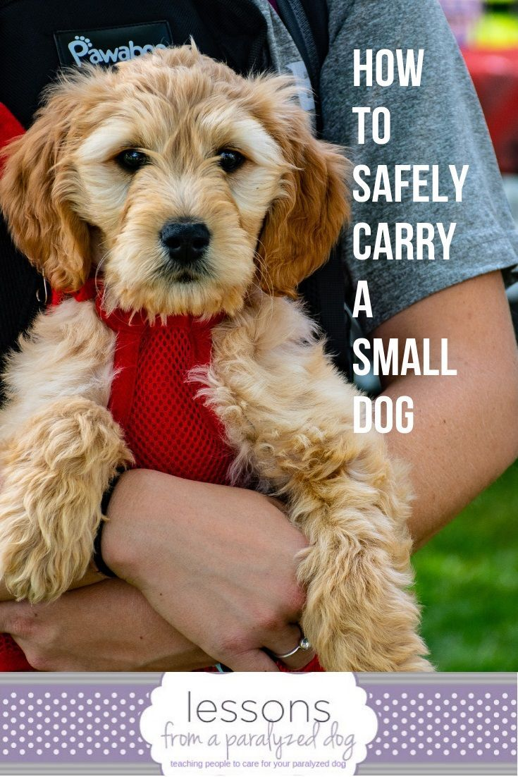 The Right Way To Lift A Dog With Spinal Problems Dogs Little Dogs Dog Health Tips