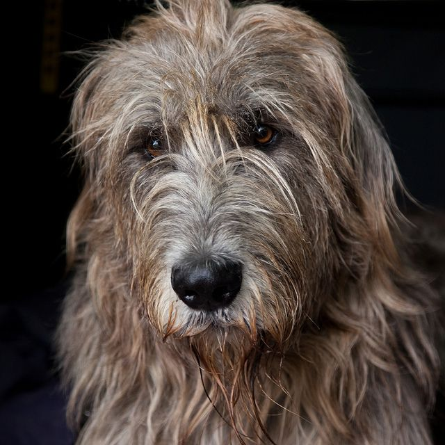 Irish Wolfhound. Looks so much like Mary (we thought Mary was a Pyranesse sp? Sheep dog @40lbs)) beautiful animal