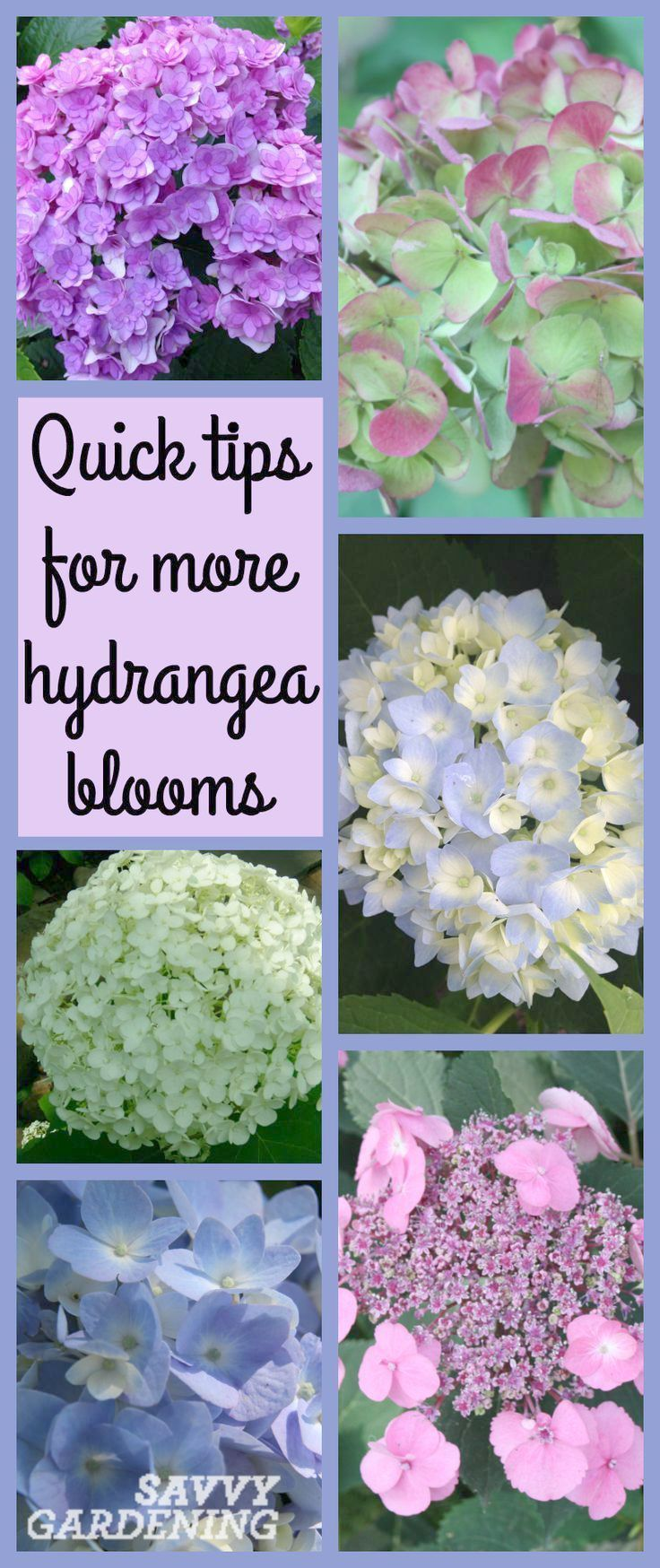 Gardening Leave In Australia On Gardening Gloves That Keep Hands Clean And Gardening Leave Jelentese Hydrangea Not Blooming Hydrangea Garden Growing Hydrangeas