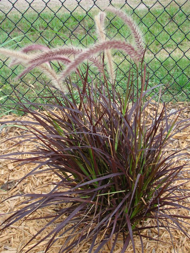 15 best images about plant palette grasses bamboo on for Blue fountain grass