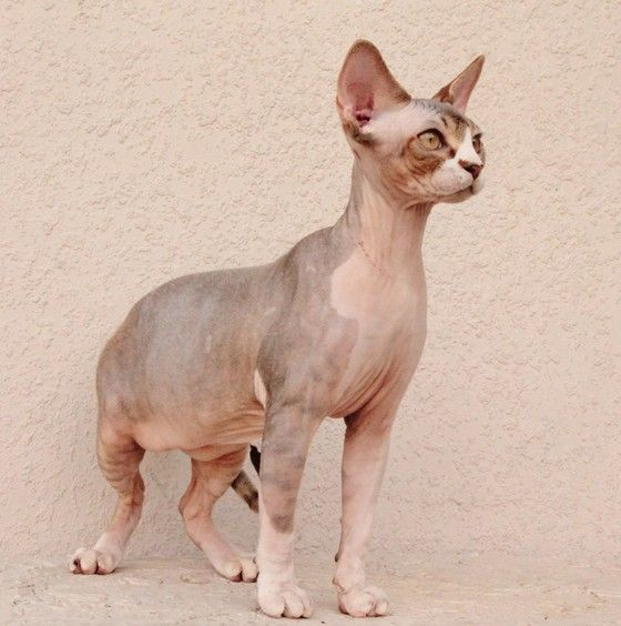 "Sphynx Cats Kittens, NADA Sphynx, Devon Rex, Lykoi, Donskoy, Sphinx, esfinge, sphynx cats for sale, hairless cats for sale, sphynx kittens, sphynx breeders, sphynx for sale, sphynx kittens for sale, sphynx cat breeders, hairless cat breeders, hairless cat adoption, sphynx cat adoption, buy hairless cat, sphynx Florida, sphynx ontario, canadian sphynx, curly coated, werewolf, <meta name=""msvalidate.01"" content=""7492326A8260D797C9DA38294CD6E8C5"" /> Spring Hill, FL Sphynx Boys"