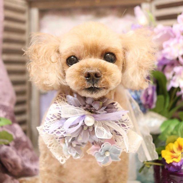 まんまるっ✨くりっくり✨のおめめがチャームポイントの小ぶりな女の子🐻💛 #groomingtail#グルーミングテイル#groomingsalon#grooming#dogstagram#cutepoodle#cutepoodlesgram#inu#cutedog#tokyo#hiroo#instagramdogs#doglover#cutedoggrooming#groomer#ドッグサロン#トリミングサロン#東京#広尾#ふわもこ部#ティーカッププードル#ティーカップレッド #犬バカ部#わんこなしでは生きていけません会#寵物美容#貴婦狗#愛犬#広尾トリミング