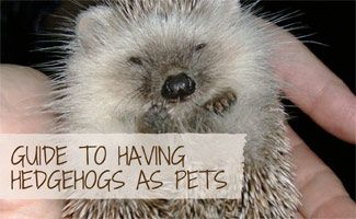 Everything you ever wanted to know about hedgehogs as pets including how to care for them properly & areas where it is illegal to own a pet hedgehog.