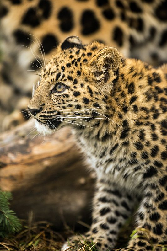 Amur Leopard Cub by Dave Hunt Photography