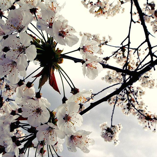 "【candelazenit】さんのInstagramをピンしています。 《""Flores de Cerezo"" ( Photo by me) y con esta imagen les deseo un Feliz 2017! 🎆 #total_flowers #flowers #naturelovers #white #cherryblossoms #cherrytree》"