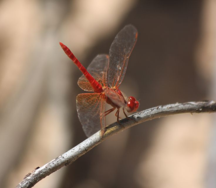 Beautiful red dragonfly spotted in Kakadu National Park, NT