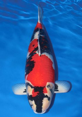 Image from for Champion koi ponds