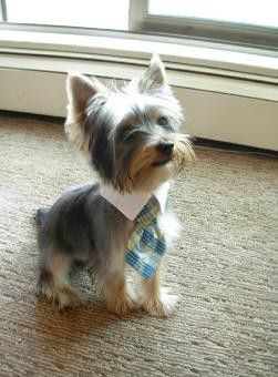 GQ Yorkie (Leeloo NEEDS this tie!  and maybe a matching kilt...)