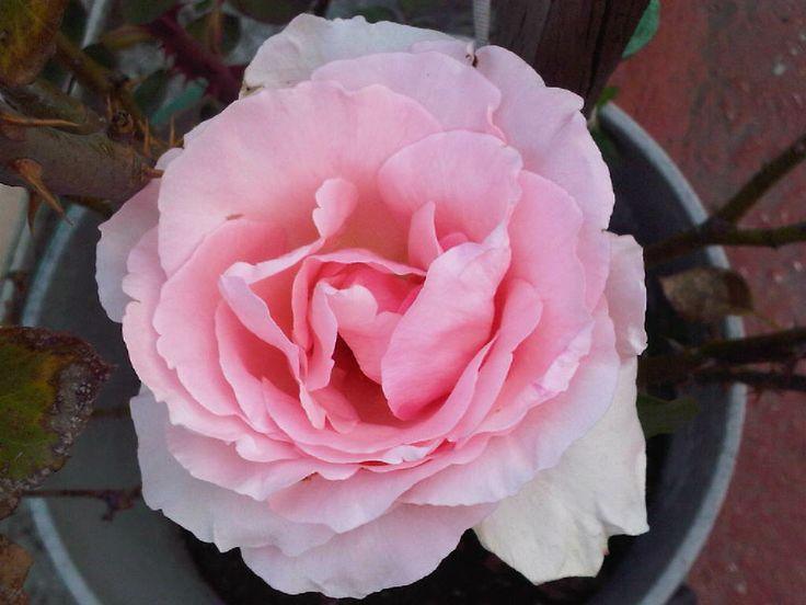 Lo que no pasa por la foto es el delicado y exquisito aroma que emana de esta rosa.