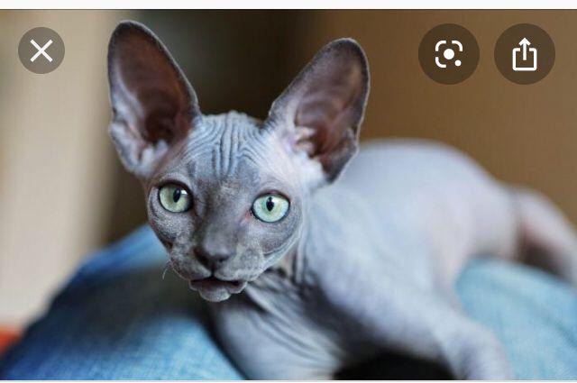 Pin By Raigan On Hairless Cat In 2020 Hairless Cat Sphynx Cat Cat Anatomy