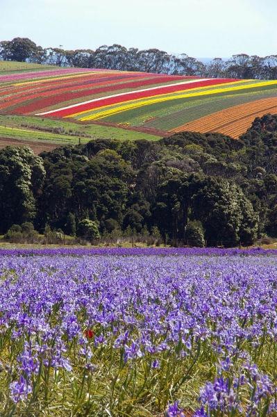 Table Cape Tulip Farm, North West Tasmania