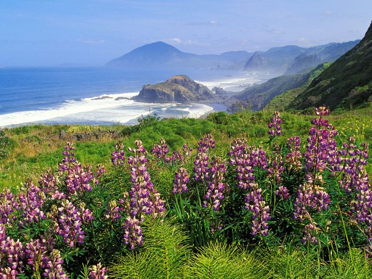 California Coast - wild Lupine