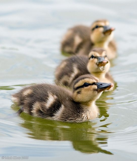 Ducklings... Adorable