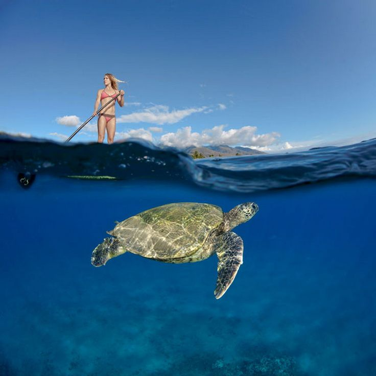 A Green Sea Turtle (Chelonia mydas) swims below surf instructor Tara Angioletti standing on a paddle board off Canoe Beach, Maui. Picture: David Fleetham/Bluegreen / Rex Features