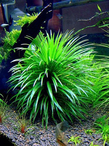 The Aquatic Plant Society – Eriocaulon amanoanum T. Koyama