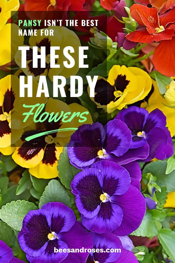 Pansy Isn T The Best Name For These Hardy Flowers Bees And Roses In 2020 Pansies Flowers Pansies Hardy Plants