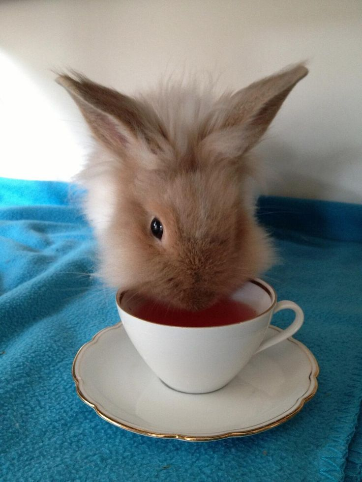 """Bean, a 7 month old lionhead rabbit with a love for tea!"" - Two of the best things in the world in one picture. Sold."