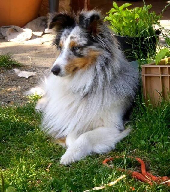 Shetland - Berger des Shetland - L'avis du vétérinaire - Choisir son chien
