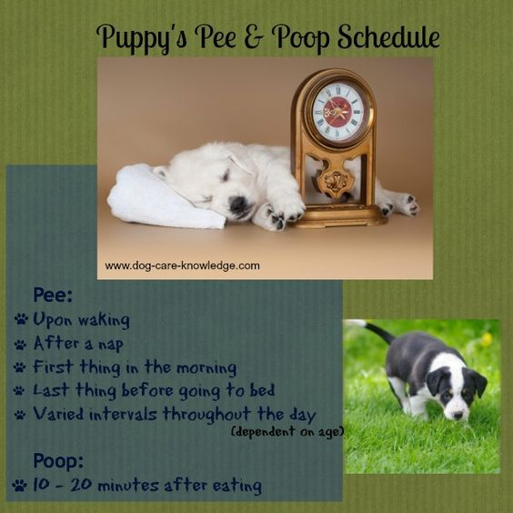 House training a puppy is easier if you understand when your puppy is likely to pee or poop.  In general, a pup needs to pee/poop at these times. See http://www.dog-care-knowledge.com/house-training-a-puppy.html for more information.
