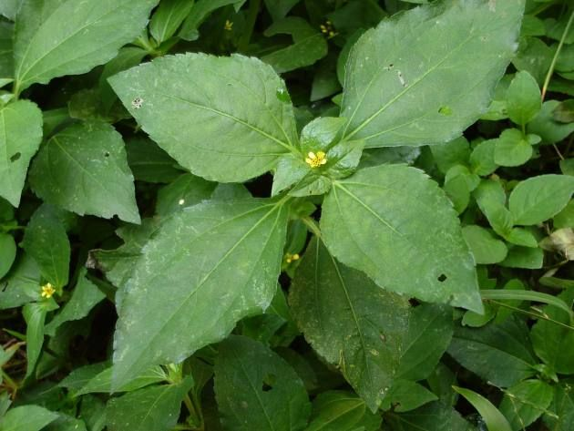 Jenis Rumput Untuk Pakan Kelinci Legetan (Synedrella Nodiflora) Jenis rumput untuk pakan kelinci ini sangat banyak didapatkan di kebun tegalan. Orang jawa menggolongkan rumput ini sebagai wedusan ...
