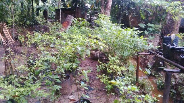 Kebun cabe belakang rumah