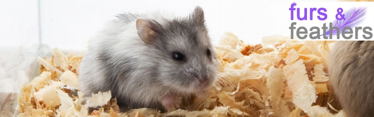 Love pets? Take home a pair of Siberian Hamster complete with cage, wood shavings and food and water dish! #hamsters #pethamster #petlovers #hotdealsphilippines