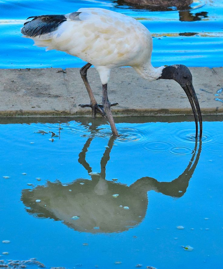 Ibis Reflection
