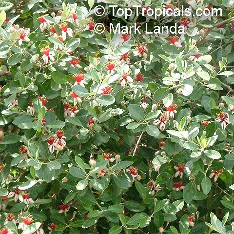 pineapple guava - grow as hedge
