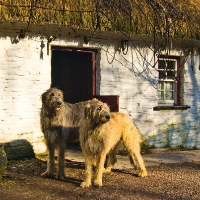 Irish Wolfhounds are awesome dogs!