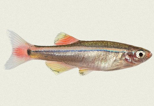 17 best images about white cloud mountain minnow from for Whiting fish florida