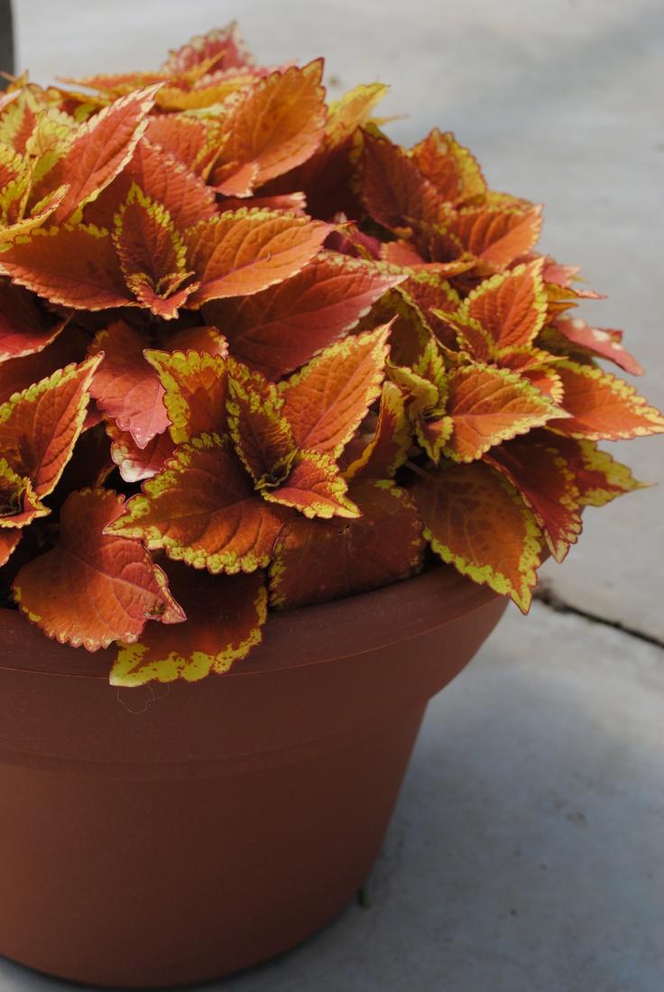 best plants i want images on pinterest shrub shrubs and acreage