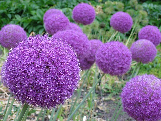 30 Plain Landscape Plants Purple Flower