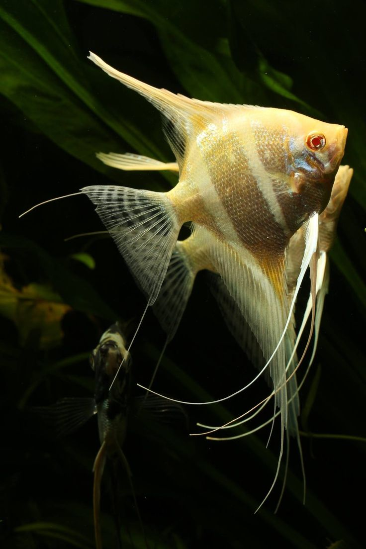 Freshwater aquarium fish angelfish - Angelfish More