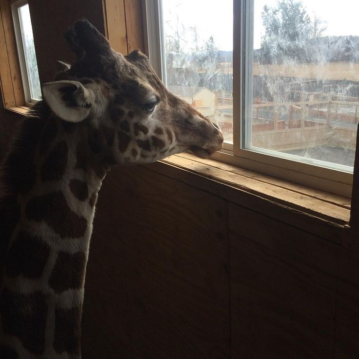 Isn't she the prettiest giraffe you've ever seen? So serene. #giraffe #zookeeper