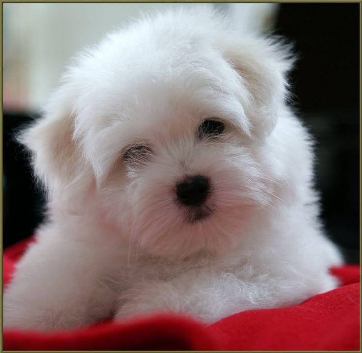 Coton de Tulear puppy ~ OMGosh!  What a cutie!