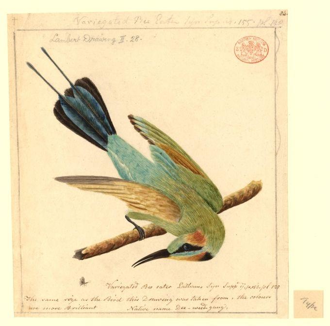 Variegated Bee-eater, native name Dee-weed-gang