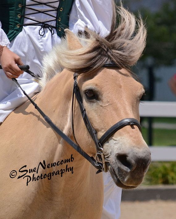 Norwegian Fjord Horse by SueNewcombPhotos on Etsy