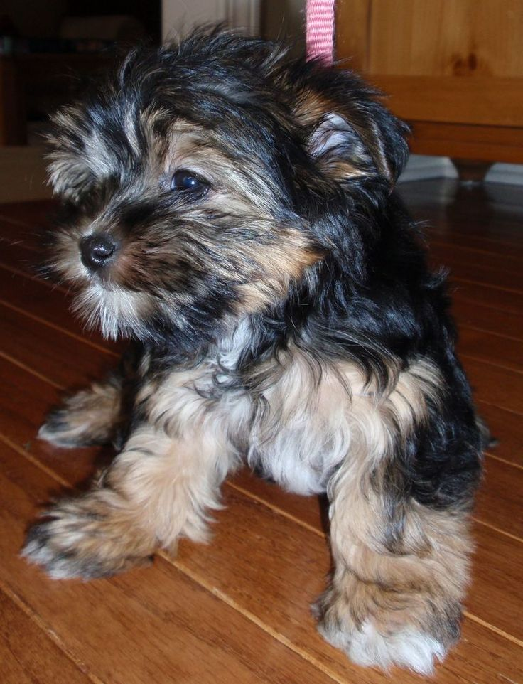yorkie puppies for sale in michigan yorkie puppies for sale in canton michigan how to make 6642