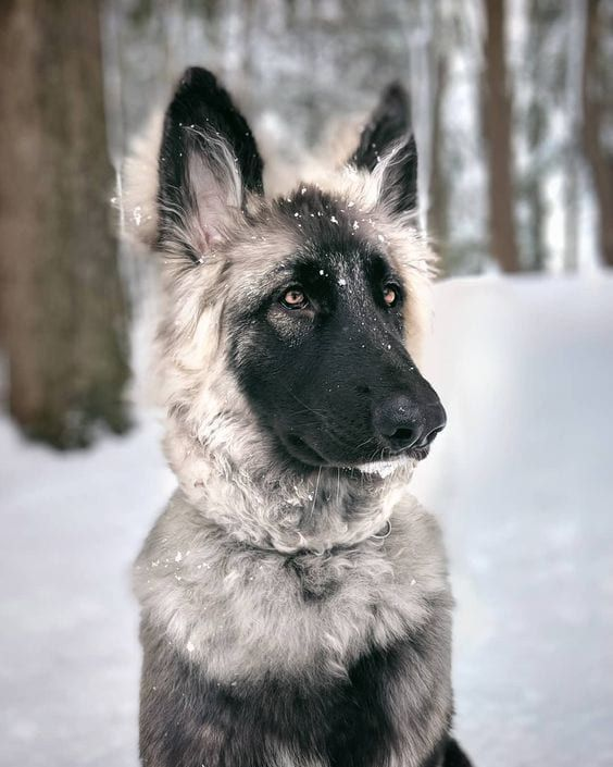Shiloh Shepherd Dog Breed Info Pictures Traits Facts Doggie Designer In 2020 Shiloh Shepherd Dog Shepherd Dog Breeds Dog Breeds