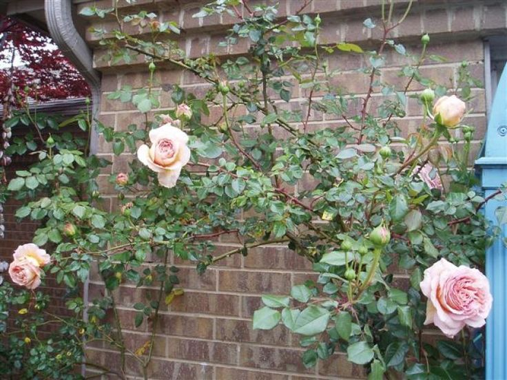 Abraham Darby® - Roses - Heirloom Roses