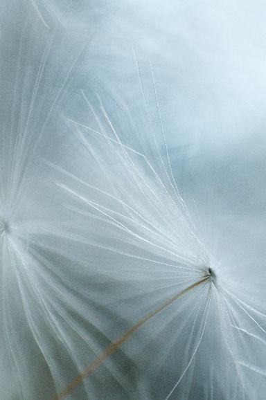 Dandelion by Andrew Birch