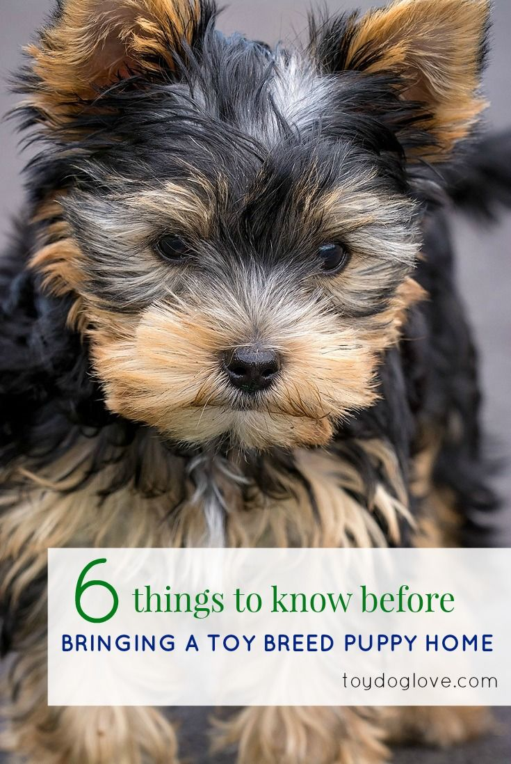 Things to Know about Toy Breed Puppies and what you need to know before bringing one home