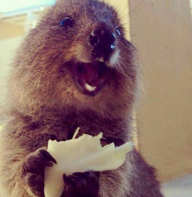 Best Quokka Images On Pinterest Adorable Animals Animal - 15 photos that prove quokkas are the happiest animals in the world
