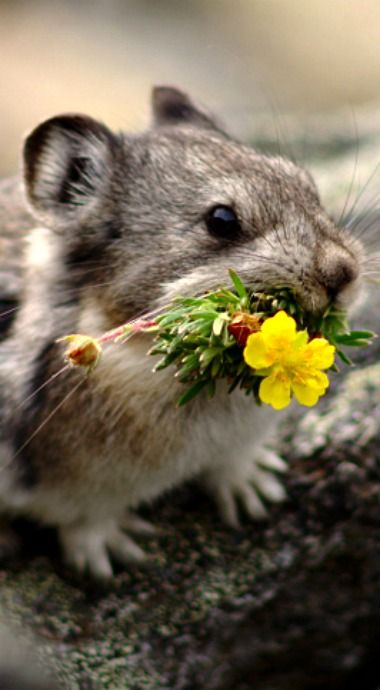 Pikas love to gather flower bouquets