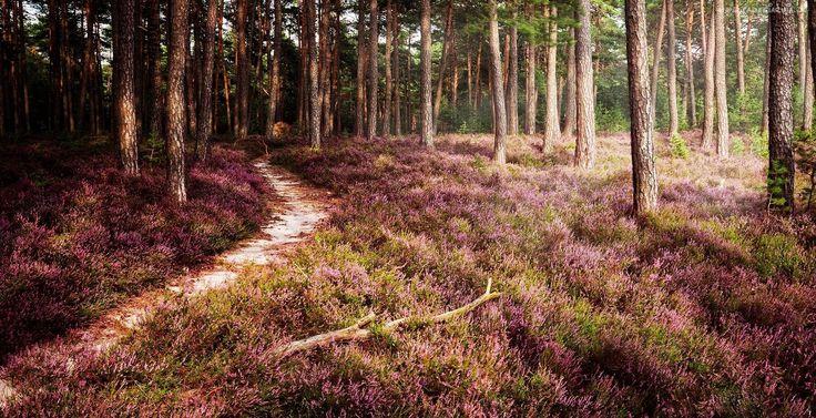 Wrzosy, Drzewa, Las, Ścieżka