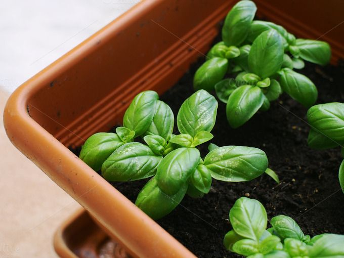 Basil herb in a garden pot by Life Morning Photography on Creative Market
